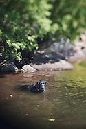 Black labrador retriever swimming in Copperas Pond in New York's Adirondack Park
