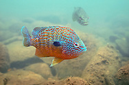 Longear Sunfish spawning<br />
