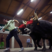"A Basque man pulls from two oxes during a ""Idi Probak"", a Basque traditional sport competition, on February 14, 2009 in Bilbao, Spain. Photographer: Markel Redondo/Fedephoto."