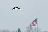 Bald Eagle Fighting 2/7/2013 Onondaga Lake