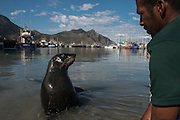 Cape fur seal (Arctocephalus pusillus) &amp; fisherman<br /> Hout Bay harbor<br /> Western Cape<br /> SOUTH AFRICA<br /> RANGE: Southern and southwestern coast of Africa from Cape Cross in Namibia to Cape of Good Hope to Black Rocks near Port Elizabeth.