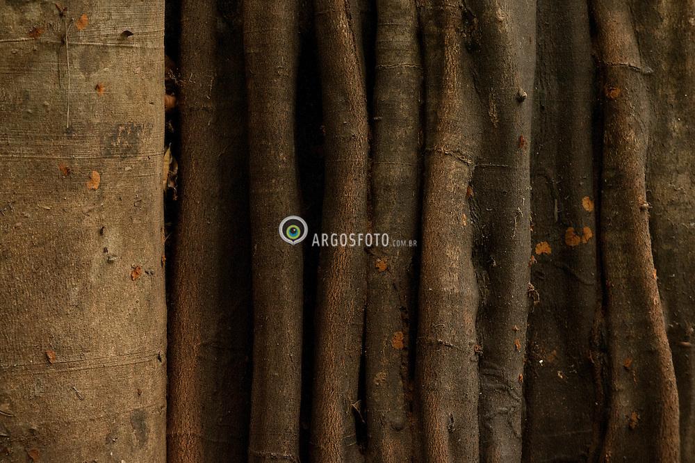 A Carapanauba uma arvore de grande porte de madeira pardo-amarelada encontrada frequentemente na floresta amazonica. Usada para fins medicinais atraves do cha feito do seu caule.Os principios ativos sao aspidospermina, quebrachina, aquanidina, aricina e iombina. Utiliza-se o cha da casca da arvore, que serve para bronquites, perturbacoes do figado e  reduz gorduras./ Carapanauba The tree is a large yellowish-brown wood often found in the Amazon rainforest. It is used for medicinal purposes through the tea made from its stem.