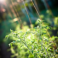 8/9/11 - Springfield, MO: Heirloom varieties of tomatoes are pruned & trained to grow vertically on a High-Tunnel pole-string system to maximize space. With the use of their new high-tunnels, the Millsaps hope by next year to have an early & a late season crop of tomatoes.