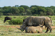 White Rhinoceros (Ceratotherium simum) Mother &amp; calf<br /> Private Game Reserve<br /> SOUTH AFRICA<br /> RANGE: Southern &amp; East Africa<br /> ENDANGERED SPECIES