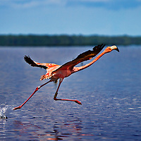 A wild Flamingo takes flight from Snake Bight in Everglades National Park. Though often thought of a symbol of Florida, Flamingos are rare in the sunshine state as their populations were decimated by hunting in the late 1800's and early 1900's. Thanks to a tracking tag on this birds leg, researchers discovered it was once part of a flock from the Yucatan Peninsula. It's thought it was blown off course during a tropical storm and ended up in the Everglades.