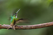 Andean emerald (Agyrtria franciae)<br /> Mindo<br /> Cloud Forest<br /> West slope of Andes<br /> ECUADOR.  South America<br /> HABITAT &amp; RANGE: