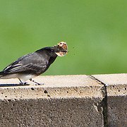 Black Phoebe eating butterfly
