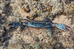 A Blue Swimmer Crab (Portunus sp.) on Turtle Reef in Talbot Bay on the Kimberley coast