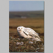 Alaska. Arctic National Wildlife Refuge. ANWR. Snowy Owl. (Nyctea scandiaca)