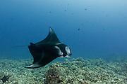 Manta ray cruises along reef off Kona, Hawaii