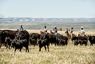 Cowboys, gathering cattle, branding, Lazy SR Ranch, Wilsall, Montana