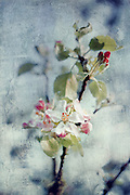 Close-up of an apple blossom. Textured photograph<br />