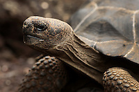 A relatively young tortoise emerged from the brush on Isabela Island, Galapagos on 6/22/09. Giant tortoises, one of the most well known of the Galapagos animals, can live up to 100 years and weigh as much as 500 pounds.
