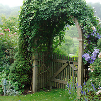 Clematis and arbor on a misty dawn