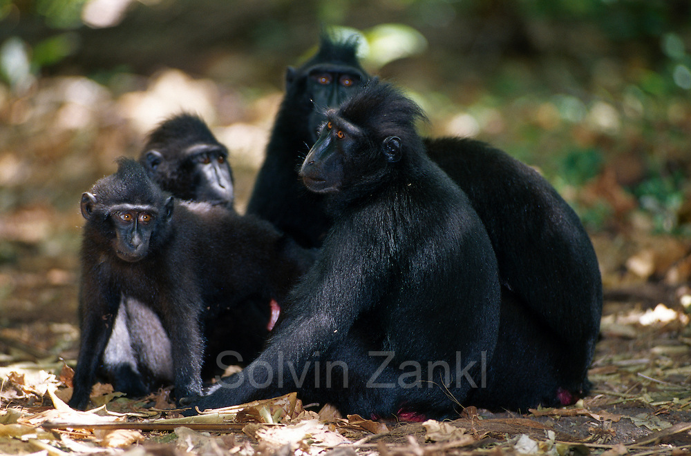 The young black apes are often gathering in small groups.   Die jüngeren Schopfmakaken ziehen oft in kleinen Gruppen durch den Wald.