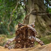 Palawan horned frog, Megophrys ligayae, an endangered species from the Philippines