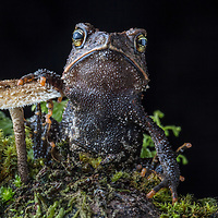 The Cuchumatan Golden Toad, Incilius aurarius, from the Cuchumatanes mountains of Guatemala, found during a search for lost salamanders. This species was only discovered as recently as 2012.