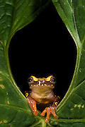 Hourglass Tree Frog (Dendropsophus ebraccatus) CAPTIVE<br /> Choc&oacute; Region of NW ECUADOR. South America<br /> RANGE: Belize, Costa Rica, Guatemala, Honduras, Mexico, Nicaragua, Panama, Colombia, Ecuador.