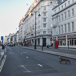 London, UK - 25 December 2014: a fox crosses an empty street in London on early Christmas morning.