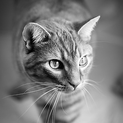 Oliver - Orange Tabby