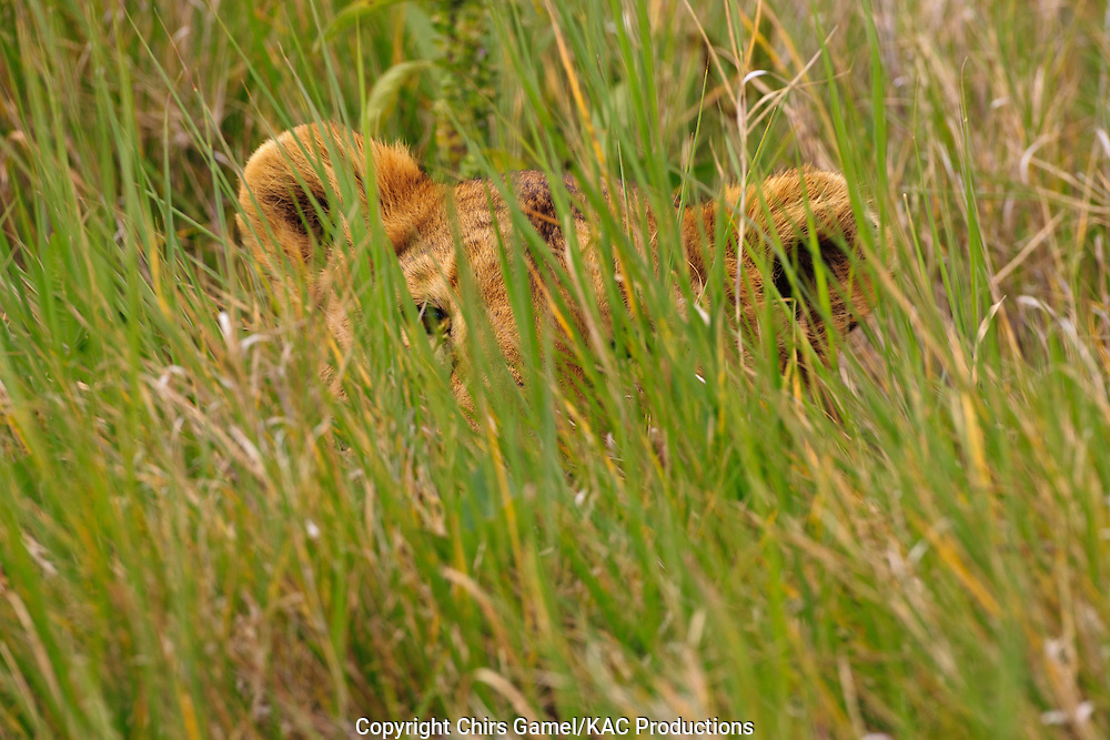 Female lion hiding in the grass, Ngorongoro crater, Tanzania.