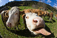 A cow on a Swiss farm near Gstaad, Switzerland sticks its tongue out.