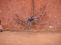 Huntsman spider on the wall