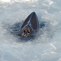 A Southern Minke Whale in McMurdo Sound, Antarctica.