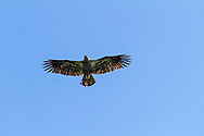 Juvenile Bald Eagle (Haliaeetus leucocephalus) flying over Kwomais Point Park in South Surrey, British Columbia, Canada