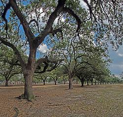 HDR image of Oak Trees within Herman Memorial Park.