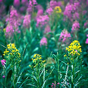 wildflowers, Colorado