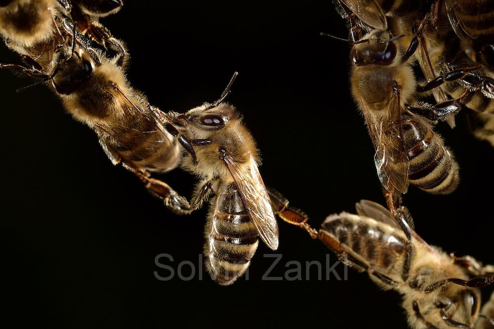 Honey bee (Apis mellifera), Kiel, Germany | Die Honigbiene (Apis mellifera) formt lebende Ketten, über die Artgenossen klettern können, um größere Abstände zu überbrücken. Diese Ketten beschreiben auch das Lot, in der die Artgenossen beim Wabenbau ihr Bauwerk ausrichten.  Kiel, Deutschland