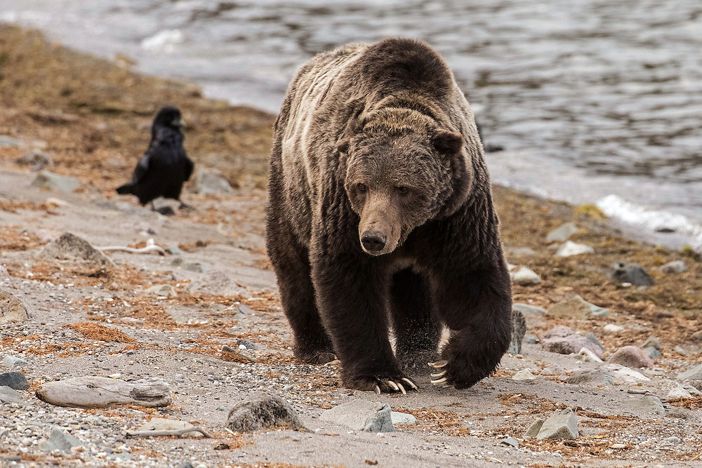 This photo was taken the last time I saw Scarface, or Grizzly 211, as he wandered along the shore of Yellowstone Lake in the fall of 2015. At that time, I was concerned about how frail the 25- year-old bear appeared and worried about how much longer he would be with us.  Sadly, Scarface was shot and killed near Gardiner, Montana, one month later, making this last sighting of the magnificent old warrior all the more special to me.