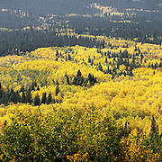 SHOT 9/19/12 3:07:13 PM - A sea of yellow blankets the forest floor as aspen leaves change colors near Nederland, Co. Aspens are trees of the willow family and comprise a section of the poplar genus, Populus sect. Populus. The Quaking Aspen of North America is known for its leaves turning spectacular tints of red and yellow in the autumn of the year (and usually in the early autumn at the altitudes where it lives). This causes forests of aspen trees to be noted tourist attractions for viewing them in the fall. (Photo by Marc Piscotty / © 2012)