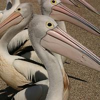 Pelicans can