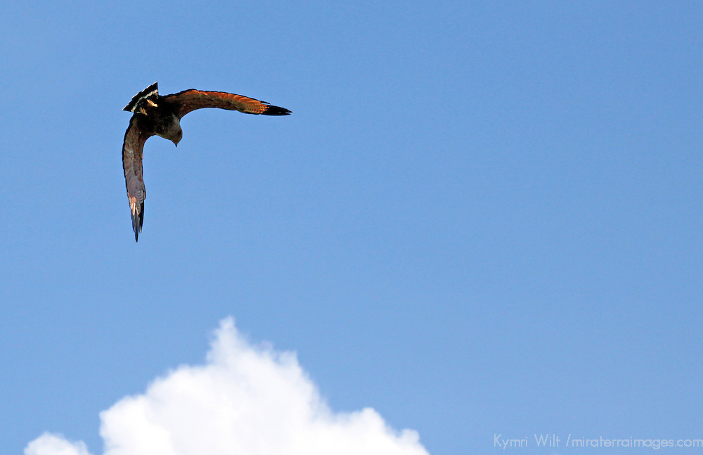 South America, Brazil, Pantanal. Savannah Hawk in flight over the Pantanal.