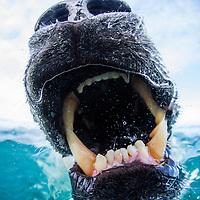 Canada, Nunavut Territory, Close-up of Polar Bear (Ursus maritimus) biting at camera near Arctic Circle along Hudson Bay