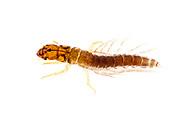 Alderfly (Sialis sp.) larva<br /> TEXAS: Hardin Co.<br /> Cotton Rd. in Lance Rosier Unit of Big Thicket N.P.; 2.4 mi SE of Saratoga<br /> 20-Mar-2015<br /> J.C. Abbott #2701 &amp; K.K. Abbott