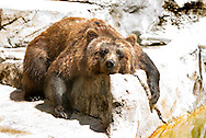 .A Grizzly Bear at Henry Vilas Zoo drying off after taking a dip in the water. Warm and humid weather with temperatures in the 90's continued in the Madison area Tuesday July 19, 2011 with hotter temperatures expected on Wednesday. (AP Photo/Wisconsin State Journal, Steve Apps.)