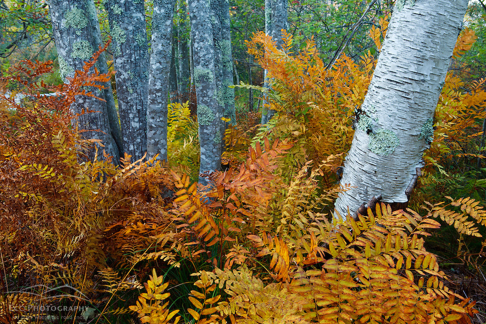 Ferns and tree trunks in the Wild Gardens of Acadia in Maine's Acadia National Park.