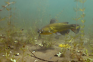 Black Bullhead<br />