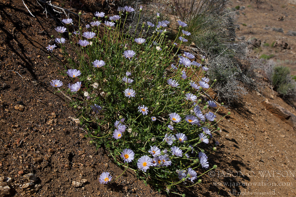 Blue wildflowers along a hiking trail, Joshua Tree National Park, California, United States of America