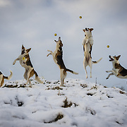 Images of Pandy the Collie cross playing in the snow in the Lake District