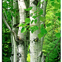 Aspen Close-up #1, Clearwater Canoe Trail, Seeley Lake, Montana
