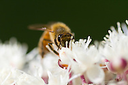A Honeybee (Apis mellifera) searches for nectar on a Bugbane (Cimicifuga sp.) flower