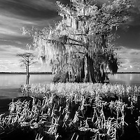 Infrared photo cypress tree and grasses with reflection on Blue Cypress Lake, Florida