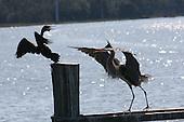 Water Birds and Marsh Birds