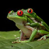 Red-eyed Treefrogs, Agalychnis calidryas, in amplexus in the Osa Peninsula.