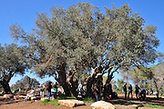 Ancient olive tree photographed in Israel