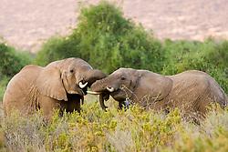 Elephants fighting  - Samburu National Reserve, located on the banks of the Ewaso Ng'iro river in Kenya; Africa. There is a wide variety of animal and bird life seen at Samburu National Reserve / Elefante lutando em Samburu, localizado no Rift Valley, no Quenia. Eh um dos grandes parques nacionais do Quenia, na Africa importante refugio de vida selvagem